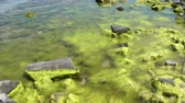 costa : 4K view of stones and green algae in the water on the seashore.