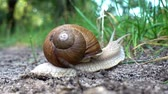 Snail in the sink crawls along the ground into the green grass. Close-up. Dostupné videozáznamy