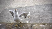 darabok : Slow motion of a gull catching slices of food on the shore.