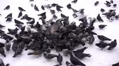 A flock of birds of pigeons eats the bread in winter in the snow. HD video Dostupné videozáznamy