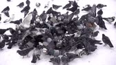 Slow motion flock of birds of pigeons eating