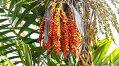 tropical climate : Plam tree with seed