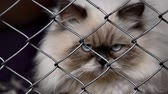 himalayan cat Stock Footage