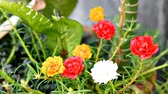 cerca : Common Purslane Stock Footage