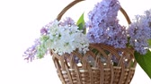 senin : spring blooming bouquet of lilac isolated on white