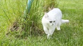 observador : Scottish chinchilla domestic cat straight-legged walks outdoors and eats grass Archivo de Video