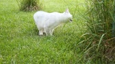 Scottish chinchilla domestic cat straight-legged walks outdoors and eats grass Vídeos