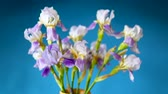 Beautiful blue fleuret- Iris. It is on blue background