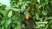 fresh ripe red tomato growing in a greenhouse