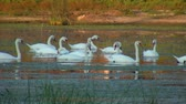 swan : Swans in the wild