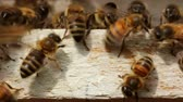 group : Macro shot of bees at the hive entrance Stock Footage