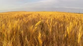 field : Wheat field at sunset aerial Stock Footage