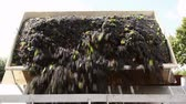 vinificação : Truck unloading grapes into one of the lined crushers