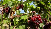 flavour : Dolly shot of red grapes hanging on a vineyard
