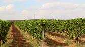 vinificação : Beautiful vineyards landscape with wind turbines in the background