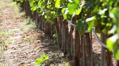 vinificação : Vineyard, detail of drop by drop irrigation system Stock Footage