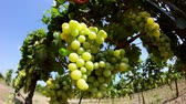 flavour : Close-up of grapes in vineyard