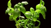 flavour : Fresh basil plant isolated on black background, rotating