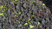 vinificação : Red grapes ready to be pressed at a winery
