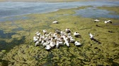 salário : Large flock of great white pelicans on a salt lake in danube delta, aerial view