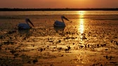 bažina : Silhouettes of great white pelicans at sunrise in Danube Delta