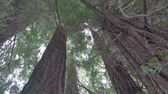 gamma : Low angle view of Sequoia sempervirens (cypress family Cupressaceae). Common names include coast redwood and California redwood. 4K UHD in Cinelike Gamma (flatter profile suitable for grading)   Stock Footage