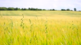 agronomists : Close-up of green oat grass growing in barley field. Field of ripening corn plants at mid of June.