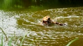 paproć : Swimming dog Retrieving wooden branch. Young Golden retriever dog swimming in the water.