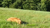 белый воротничок : Young golden labrador dog gnawing and branch of a tree. Dog playing in meadow