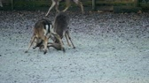 Fight between two sturdy fallow deers. Males trying each other press down