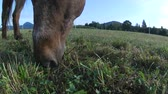 Old blind ponny grazing. Brown horse eating grass on large farm pasture.