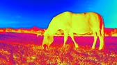 Infra red thermal video scanning. Thermal IR of horse body Filmati Stock