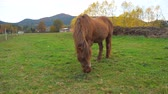 Very old little brown pony eating grass in the horse farm paddock. The last green leaves and stalks in autumn season.
