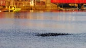 Duck emerging from water near Famous wooden colored houses in Trondheim city, Norway, magic hour Stok Video