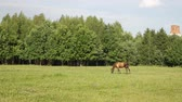 pasturage : Brown horse pasturing alone on a green field near a park trees Stock Footage