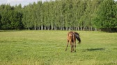 pasturage : Beautiful sorrel horse in a green summer park at sunny day Stock Footage