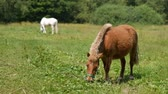 pasturage : Brown pony grazing on a meadow with horses