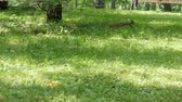esquilo : Squirrel running and jumping through the grass with sunlight spots. Sunny day in a park