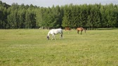 pasturage : White horse grazing on the meadow at summer sunny day