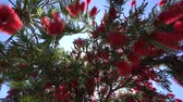 kıbrıs : Red flowers of bottlebrush tree (callistemon) sway in the wind. Bottom view Stok Video