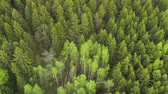 dżungla : Flying over foresst of firs and birchs. Aerial shot Wideo