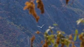 pente : Seagull flyies flapping wings against rocks and woody mountain. Handheld shot Vidéos Libres De Droits