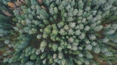 cam : Flying away from treetops. Drone goes higher over autumn forest Stok Video
