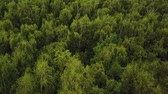 green area : Flying over green tree tops in birch grove. Aerial drone shot of a summer park