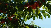 cherrytree : Lots of berries ripen on branches of sweet cherry treein swinging in the wind