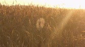 Big round spiderweb between ripe wheat ears on a farm field in rays of sunset light Stok Video