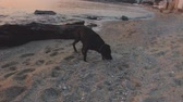 Adolescent black dog walks on beach sniffing something in sand and stones