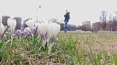narin : White and blue delicate tender spring crocus flowers in city park, blurred people walking by on background Stok Video