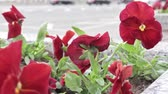 ポピー : Red pensy viola beautiful colorful flowers in the city flowerbed in breeze, urban traffic on the background, cars riding