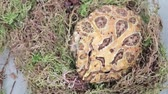 ornamentado : Big fat argentine ornate horned frog, toad moveng in dry moss. close up